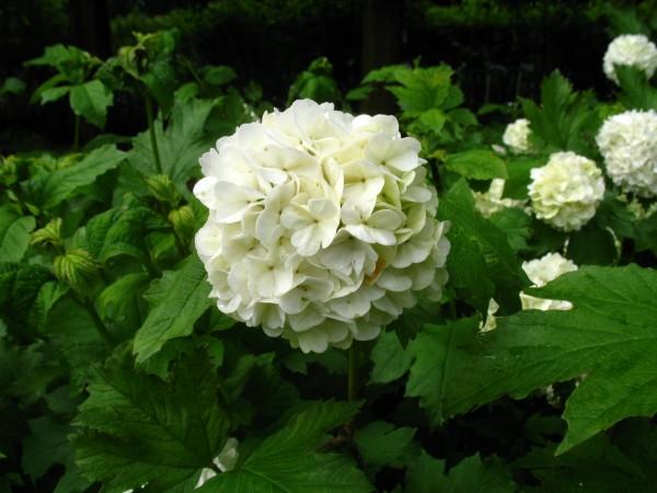 gef llter schneeball roseum gartenstauden und baumschulpflanzen. Black Bedroom Furniture Sets. Home Design Ideas