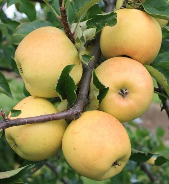 Apfelbaum Sirius