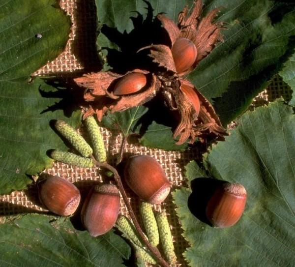 Nhottinghams Fruchtbare