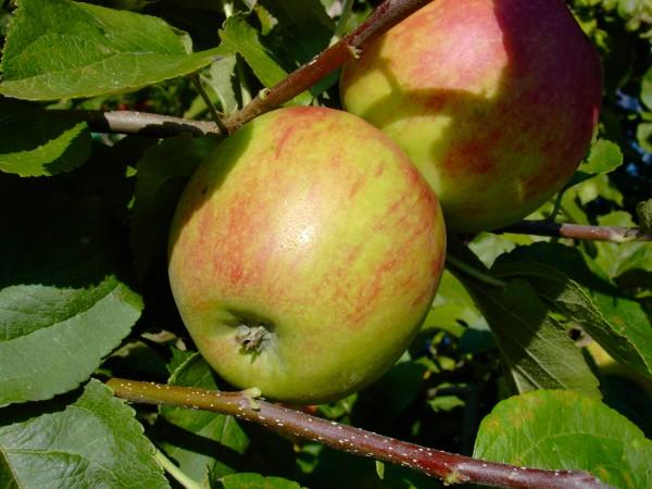 Apfel - Geheimrat Oldenburg