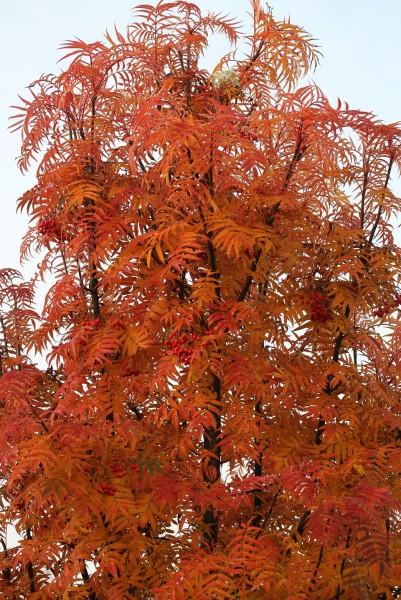 Sorbus conmixta `Dodong´