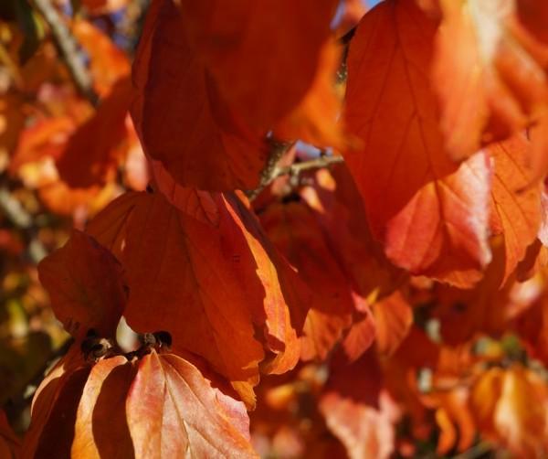Herbstfärbung des Eisenholzbaums