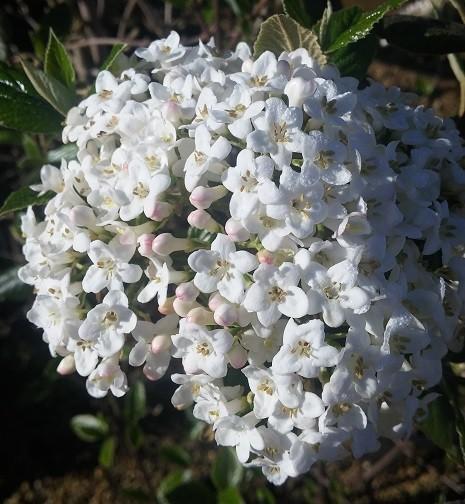 Viburnum Blütendolde