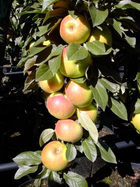 Apfel - Säulenapfel Arbat®