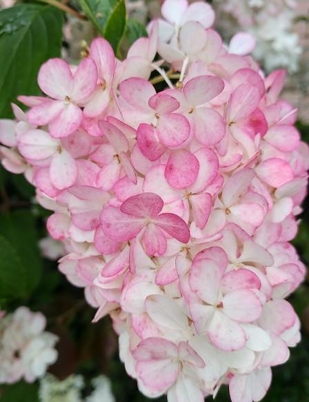 Blüte Mitte Juli