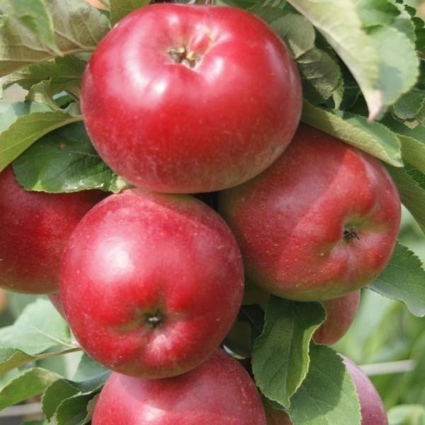 Apfel - Säulenapfel `Redcats