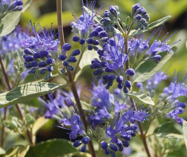 Bartblume `Blauer Spatz´