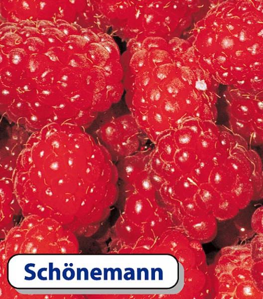 Himbeere Schönemann - sommertragend
