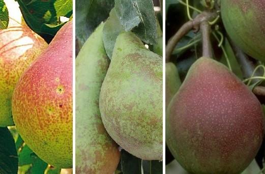 Drei-Sorten-Birnenbaum