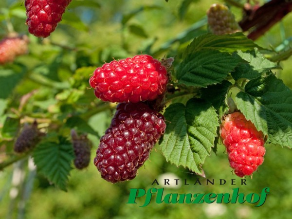 Tayberry-Riesenhimbeere