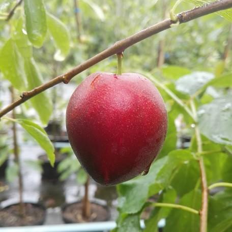 Aprisali Frucht