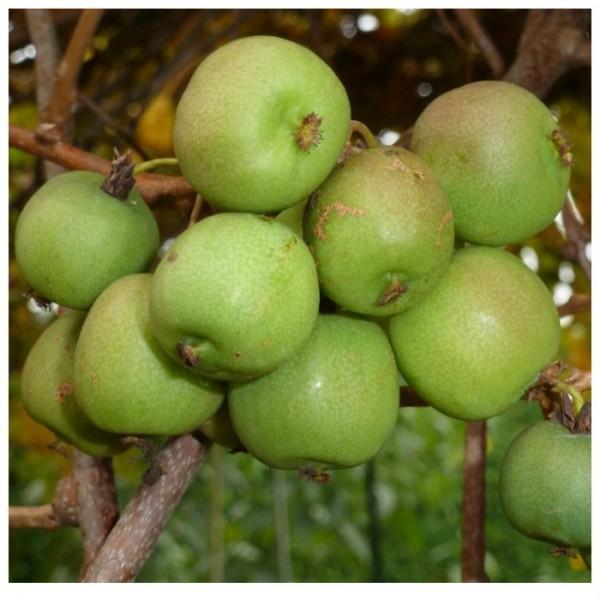 Apfelkiwi, Mini-Kiwi
