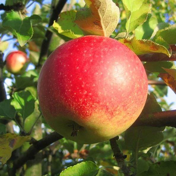 Apfel - Jonagold Apfelbaum - Buschbaum Topfballen (Versandzeit: ganzjährig)