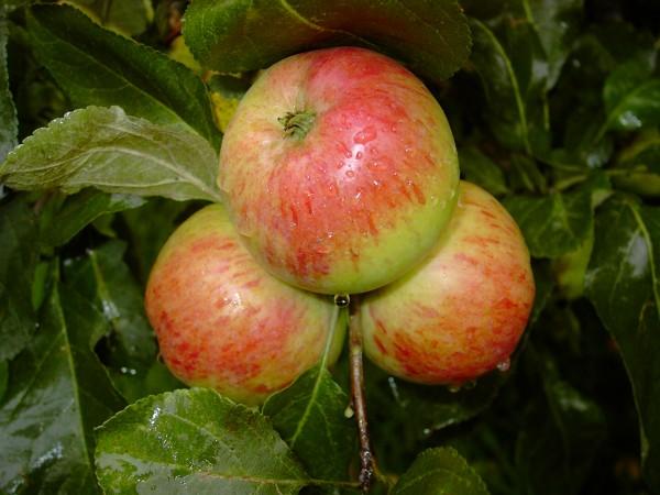 Apfel - Carola