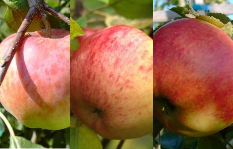 Apfel - Drei-Sorten-Apfelbaum