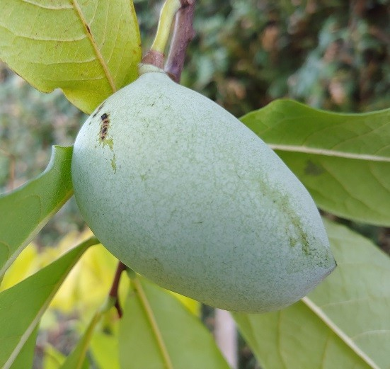 Veredelte Indianerbanane `Allegheny´® Peterson Pawpaws®