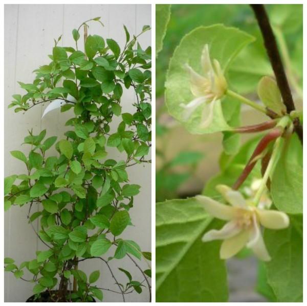 Schisandra chinensis `Wu-Wei-Zi´, Chinabeere