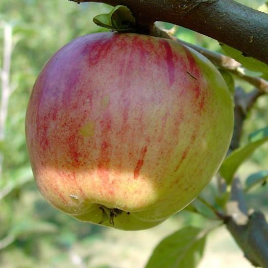 Apfel - Gravensteiner
