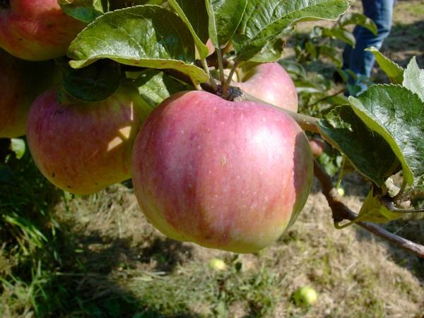 Apfel - Ontario