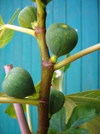 Pfälzer Fruchtfeige