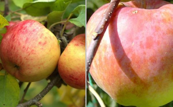 Duo-Apfel Jamba-Topaz