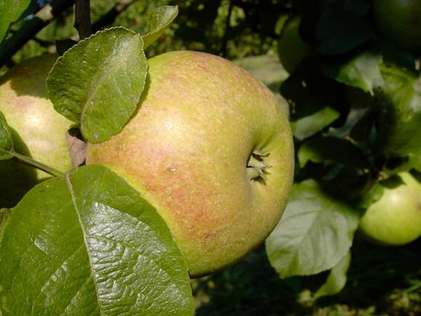 Apfel - Celler Dickstiel