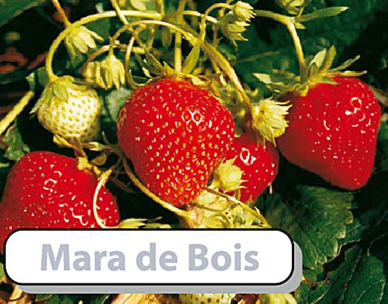 Mara des Bois, immertragend, 10 Stück