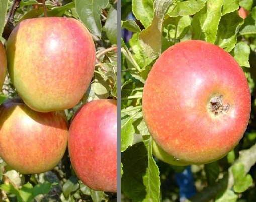 Apfel - Duo-Apfel Rewena & Alkmene