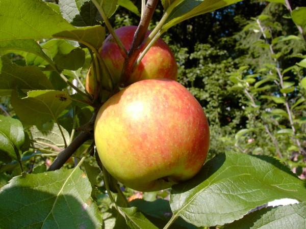 Apfel - Biesterfelder Renette