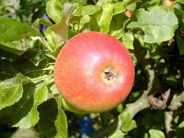 Apfel - Alkmene