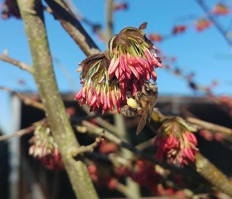 Eisenholzbaum-bl-te-und-Biene