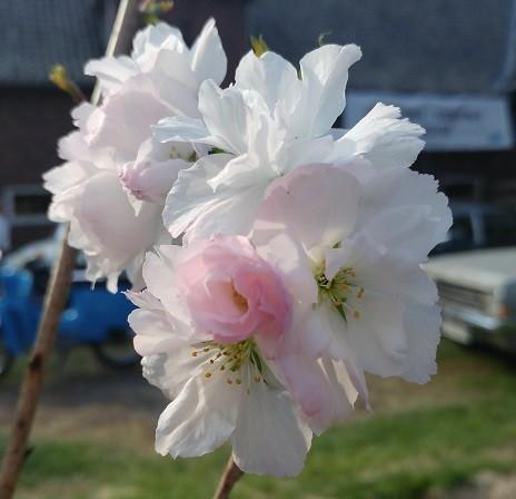 Amanogawa Blüte
