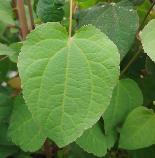 Herzförmiges Blatt des Lebkuchenbaums