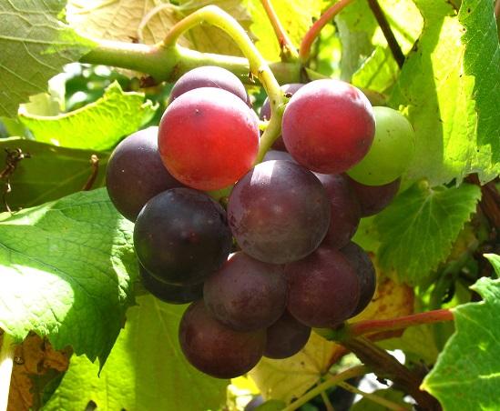 Weintraube mit Erdbeeraroma