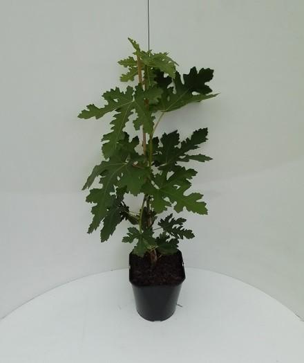 Ficus carica `Ice Crystal´