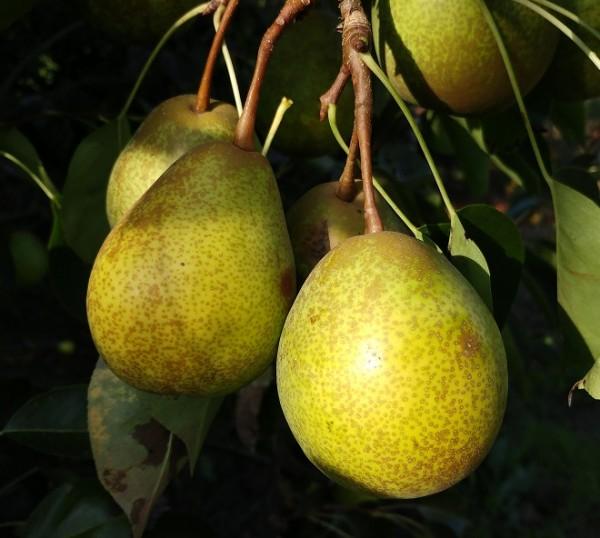 Birnenförmige Nashi