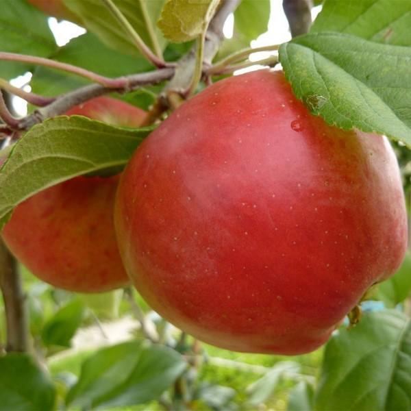 Apfel - Gerlinde ®