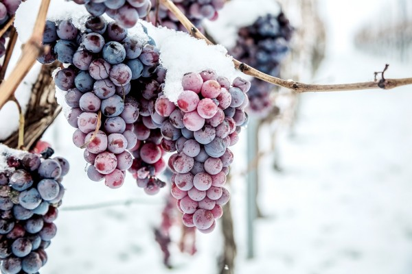 Januar-Weinrebe-Winter