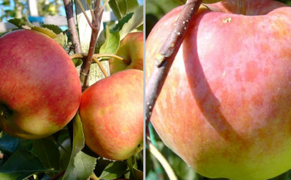 Apfel - Duo-Apfel Elstar- Jamba