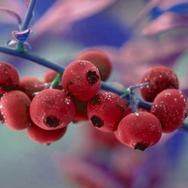 Heidelbeere - Pink Lemonade