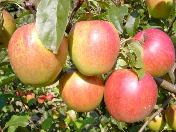 Apfel - Rewena ®