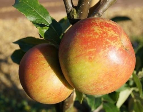 Apfel - Cox Orangenrenette