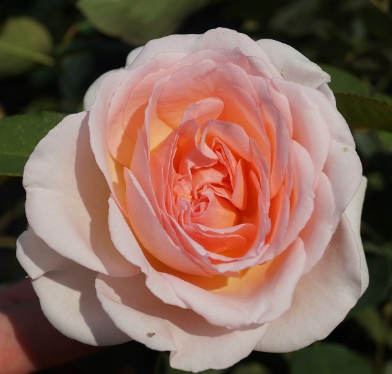 Rose Märchenzauber