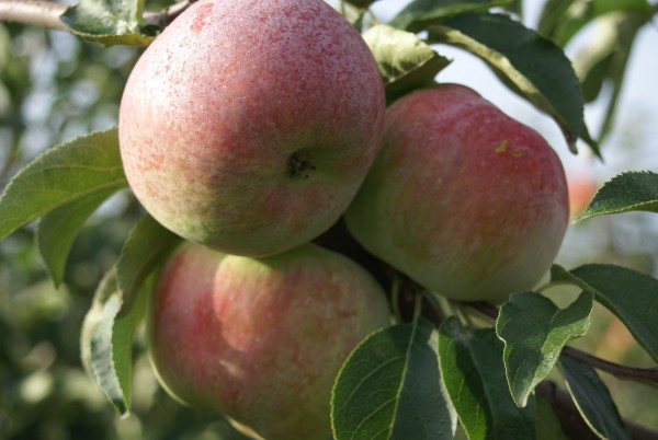 Apfel - Mira ®