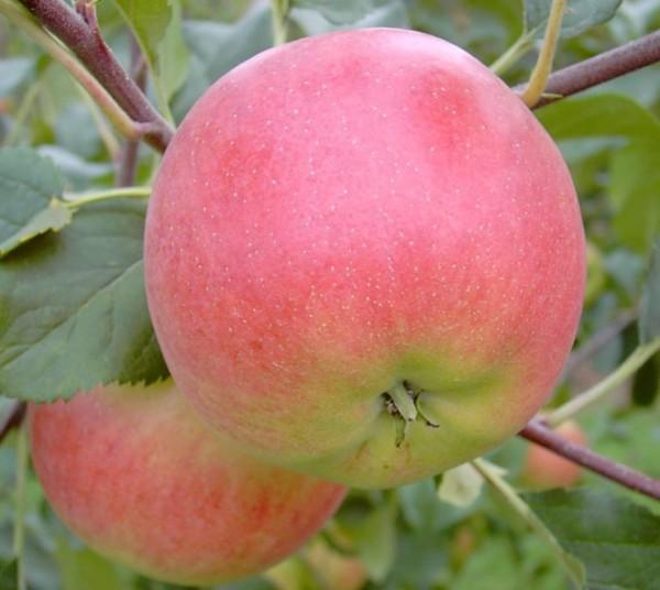 Apfel - Rubinola ?
