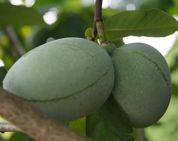 Indianerbanane Frucht