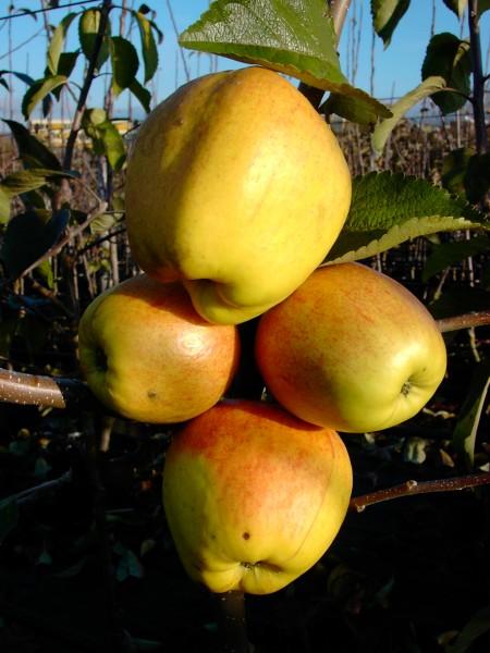 Apfel - Finkenwerder Herbstprinz