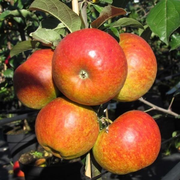 Apfel - Pilot ®
