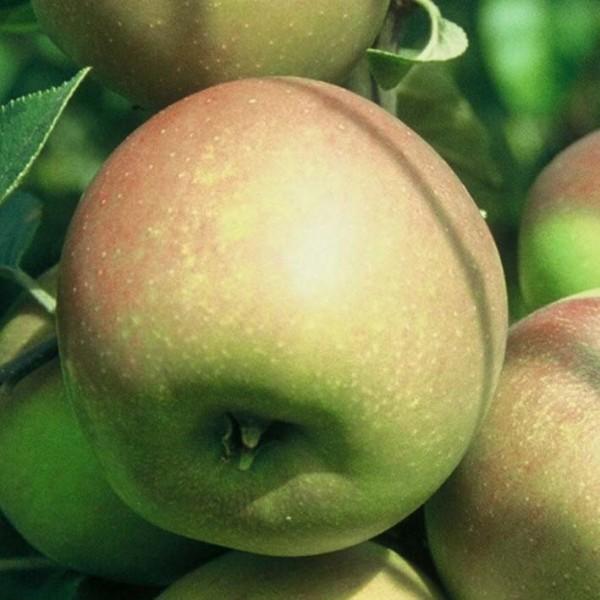 Apfel - Goldparmäne