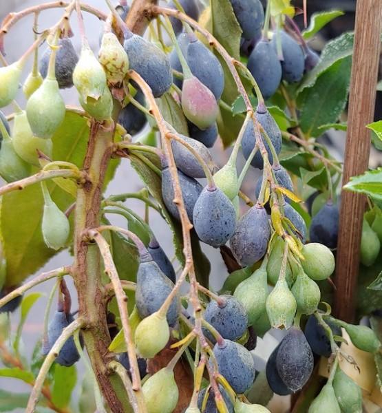 Blautropf Frucht im August